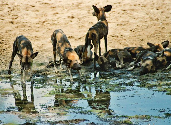 wild-dogs-ruaha-flo-montgomery