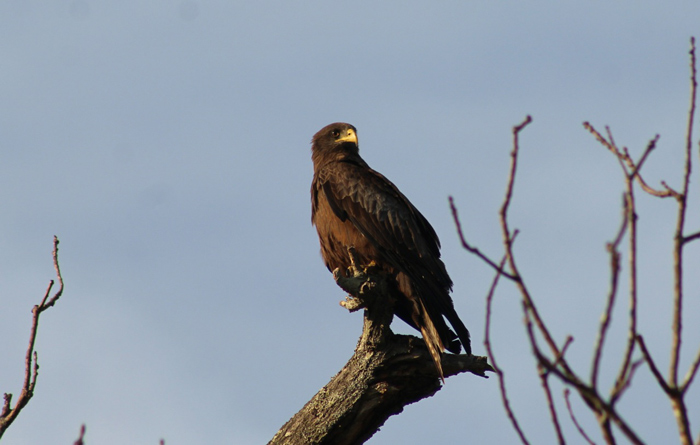 A yellow-billed kite calls the park home