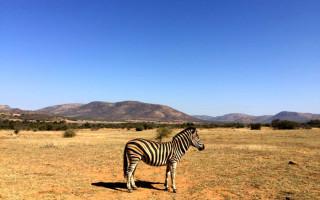zebra-pilanesberg