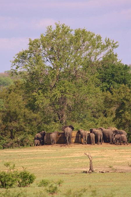 elephants-drinking-KNP
