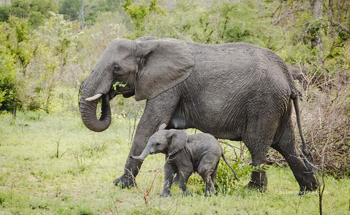 elephants-at-KNP