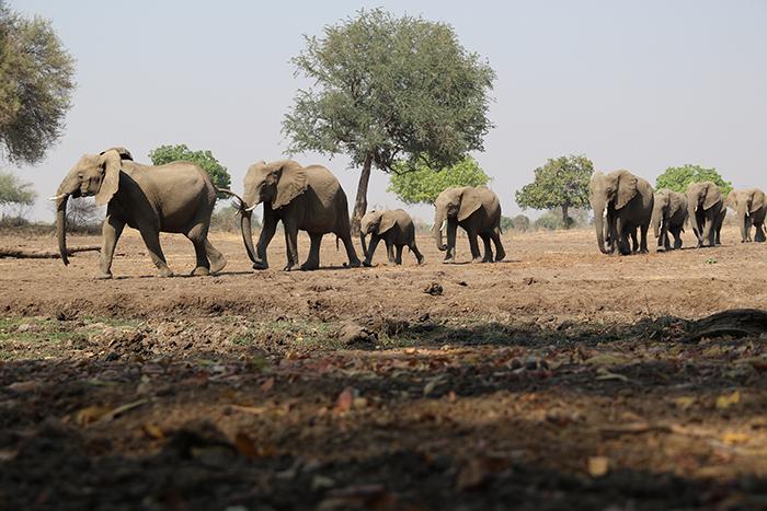 elephants-passing-safari-hide