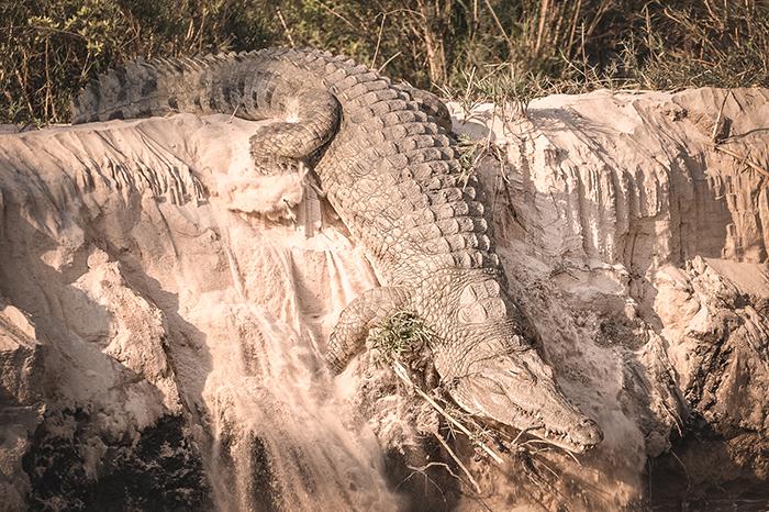 crocodile-launches-into-river