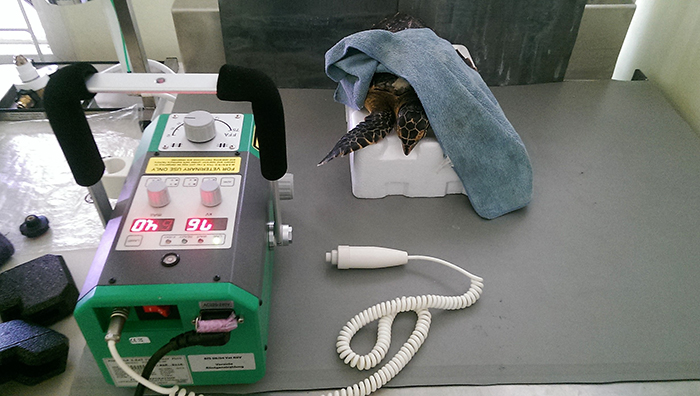 eden-a-rescued-hawksbill-sea-turtle-prepped-and-ready-to-be-xrayed