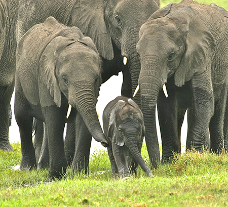 Elephant-baby-and-family-Francis-Garrard