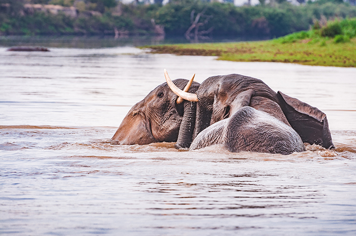elephants-tussle-in-rufiji