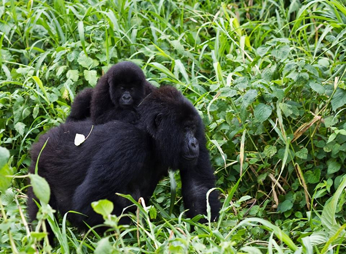 gorilla-in-bwindi-park