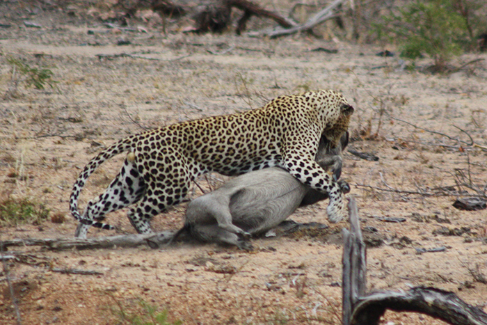 leopard-kill-at-kruger-national-park