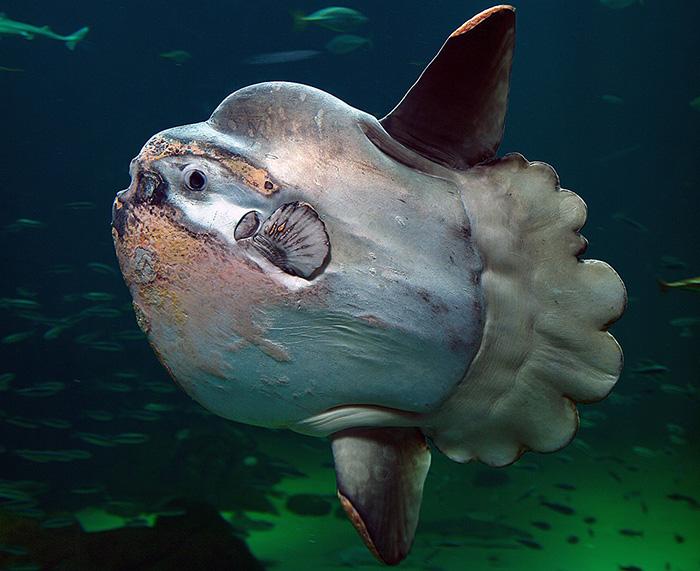 Mola Fish