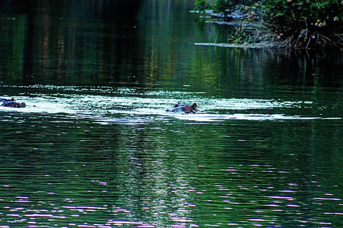 Mzima Springs_hippos (2)