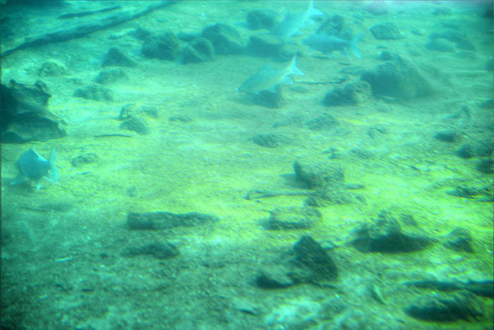Mzima Springs_underwater (2)
