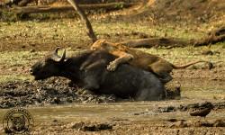 patrick-lion-buffalo-137