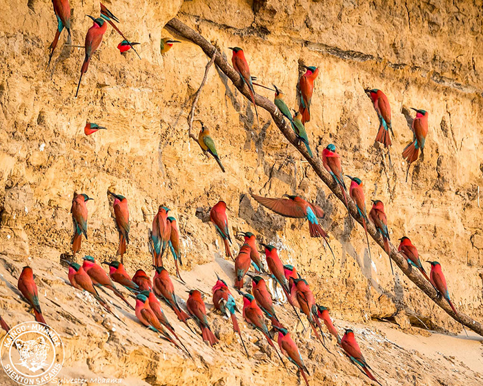 perched-southern-carmine-and-white-fronted-bee-eaters-south-luangwa-national-park