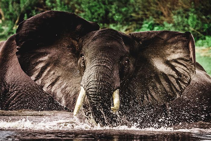 rufiji-elephant