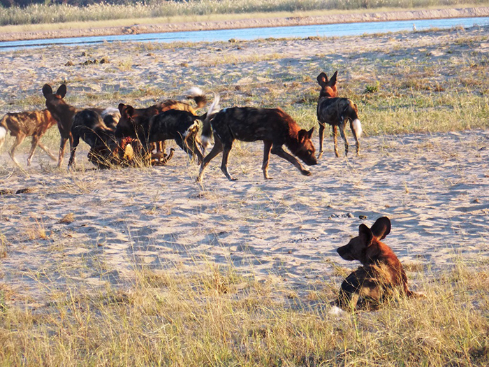 wild-dogs-pack