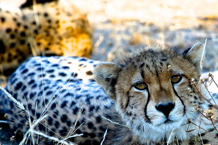 adult-cheetah-hadley-pierce