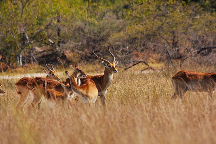 antelope-in-the-bush