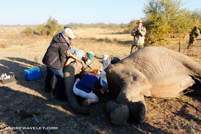 attaching-elephant-collar