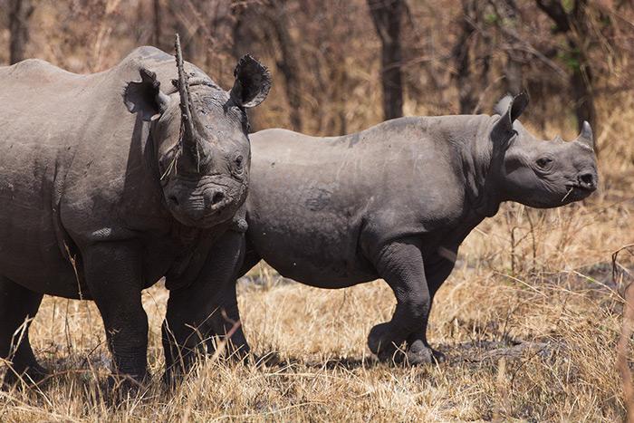 black-rhino-mother-calf-serengeti