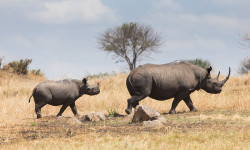 black-rhino-mother-calf-walking-serengeti