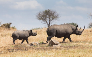 black-rhino-mother-calf-walking-serengeti