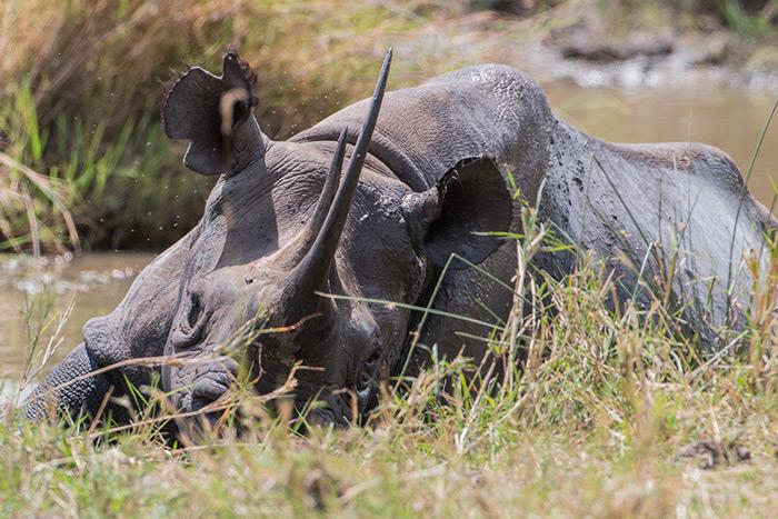 black-rhino-serengeti-mud-portrait