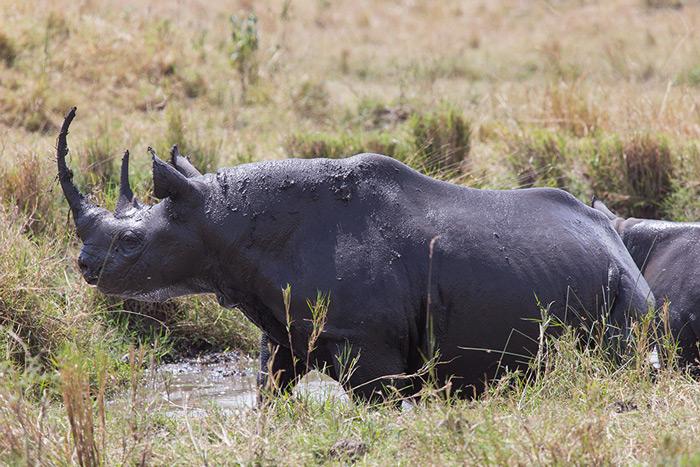 black-rhino-serengeti-mud