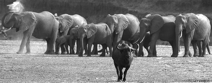buffalo-making-way-for-elephants