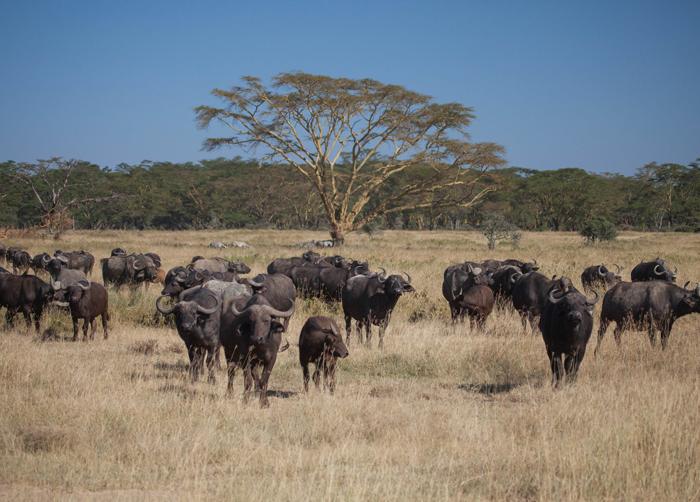 buffalos-lake-nakuru