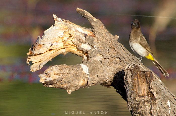 bulbul-log-maun-okavango
