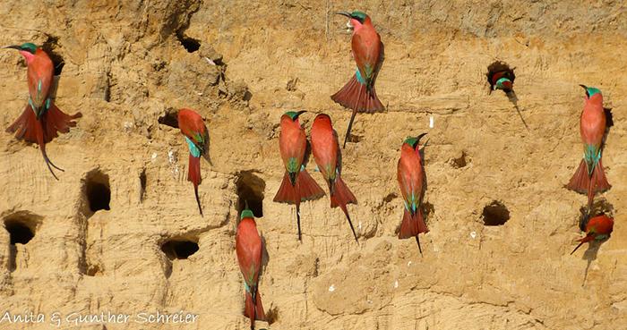 carmine-bee-eater-colony