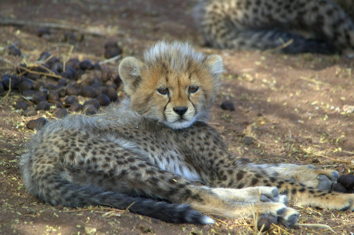 cheetah-cub-holton-photography
