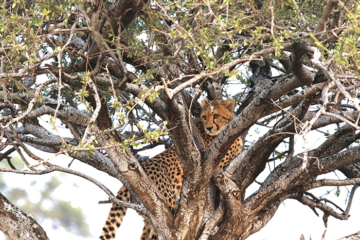cheetah-in-tree-hadley-pierce