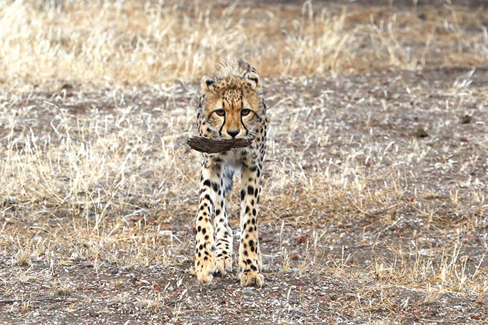 cheetah-with-bark-hadley-pierce