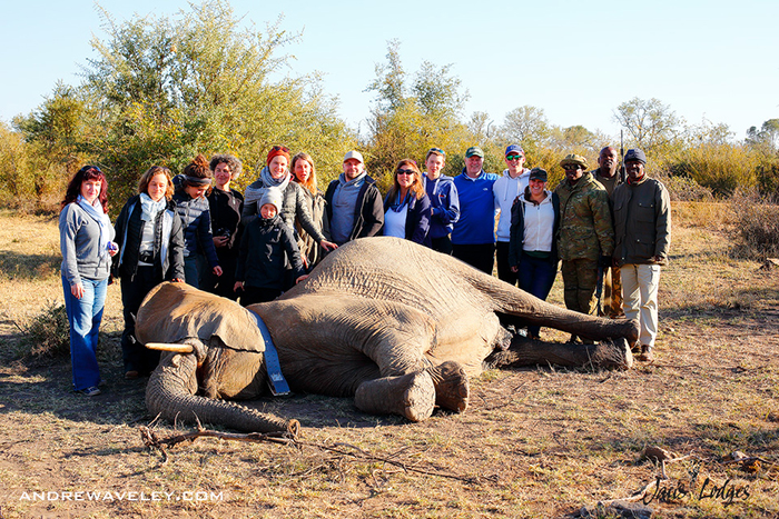 collared-elephant-with-team