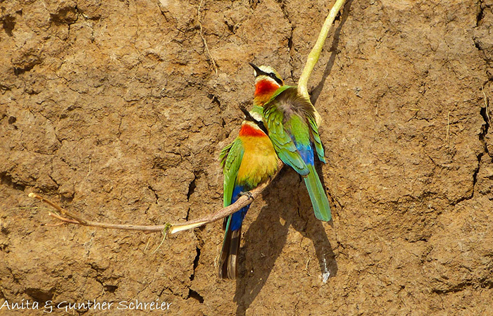 colourful-carmine-bee-eaters
