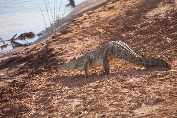 crocodile-samburu