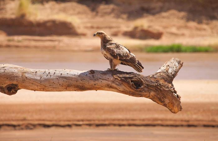 eagle-samburu