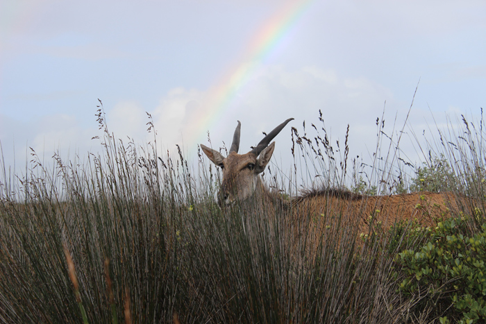 eland-rainbow-de-hoop