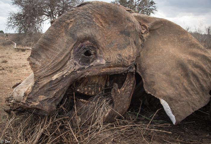 elephant-carcass