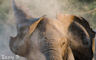 elephant-covering-itself-in-dust