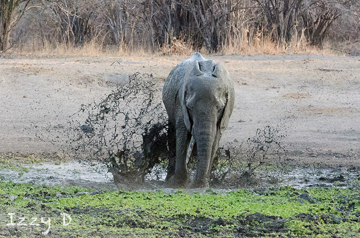 elephant-in-the-mud