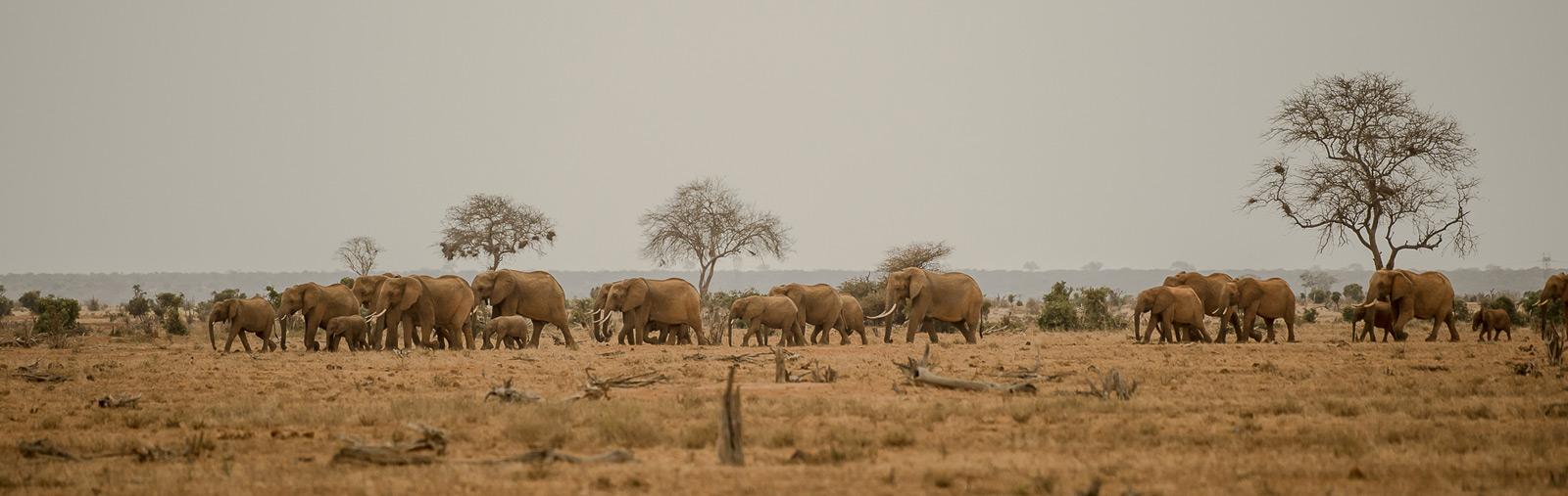 elephant-pano-tsavo