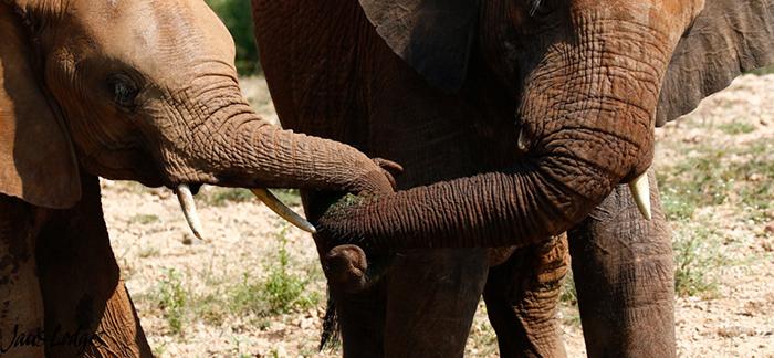 elephants-holding-trunks