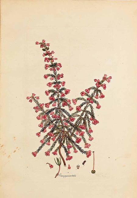 erica-pyramidalis