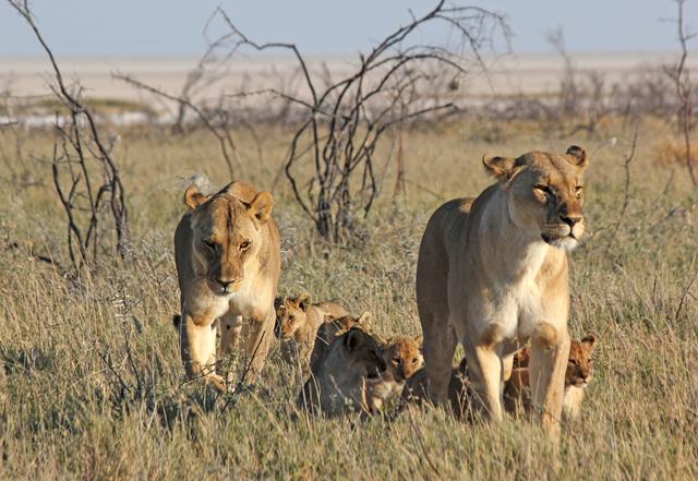 family-of-lions-niki-rust
