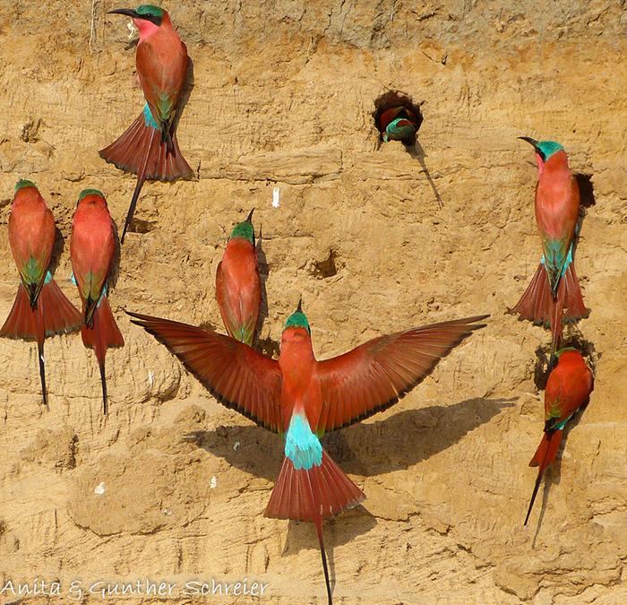 flock-on-carmine-bee-eaters