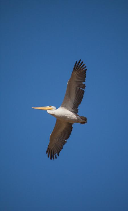 flying-pelican-lake-nakuru
