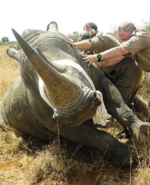 Game wardens at Mahikeng game reserve struggle to move a 3-ton rhino after it was darted and then marked in order to prevent poaching. ©Susan Cilliers, Beeld