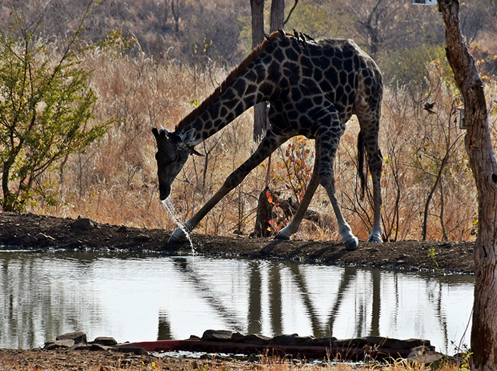 giraffe-drinking-water